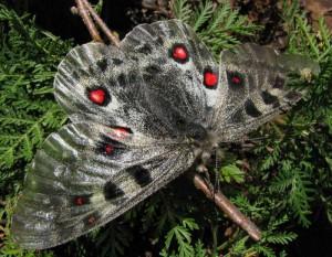 Род бабочек
