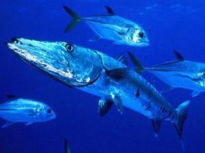 Ценная промысловая рыба