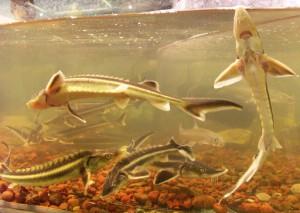 Осетровые рыбы