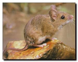 Писк мыши