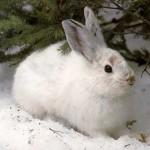 Заяц в капкане