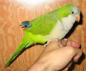 Звуки попугаев