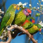 Говорящие волнистые попугаи