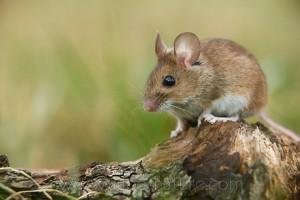 Мыши вредители