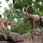 Сибирский козел