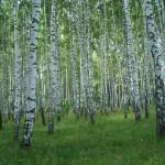 Березовый лес