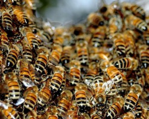 Рой пчел