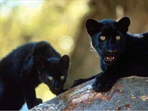 Черные пантеры