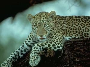 Животное леопард
