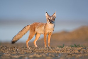 Степная лисичка