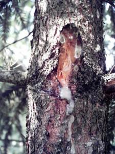 Смола хвойных деревьев