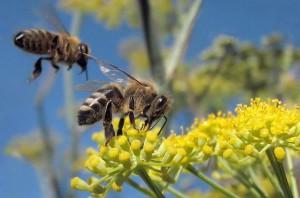 Медоносный пчелы