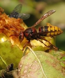 Насекомые осы
