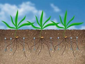 Корни растения