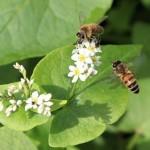 Насекомые пчелы