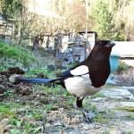 Птица сорока