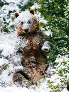 Медведь шатун