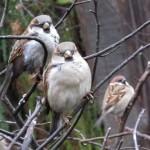 Птицы вредители