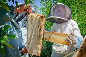 Сбор меда