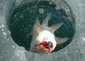 Рыбу ловят
