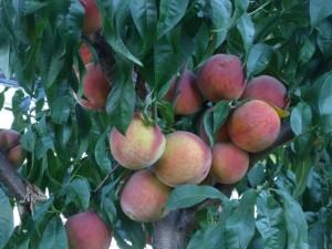 Сочный персик