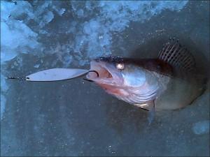 Одиночная рыба