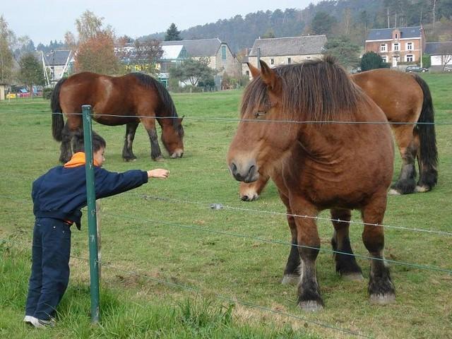 Породы лошадей тяжеловозов