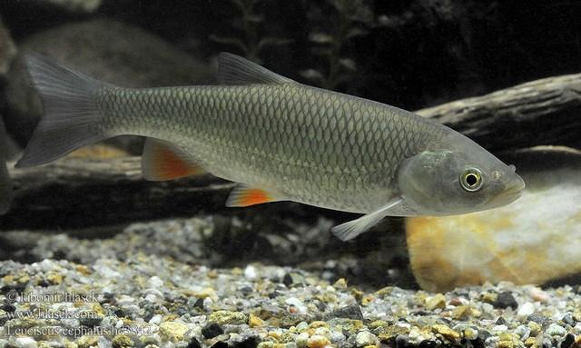 Хитрущая рыба