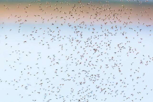 Насекомые комары