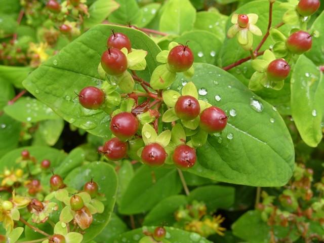 Плоды растения