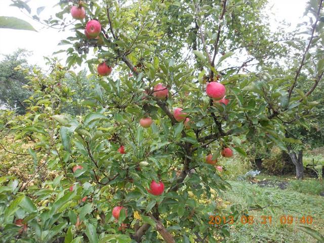 Поспевшие плоды