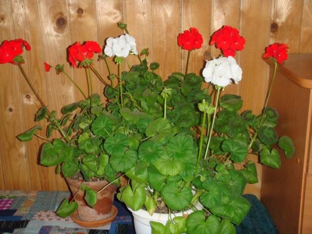 Полукустарниковое растение