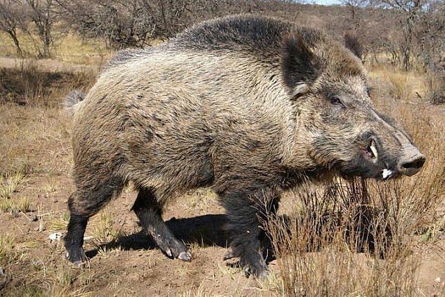 В Смоленской области поймали дикого кабана с возбудителем африканской чумы свиней