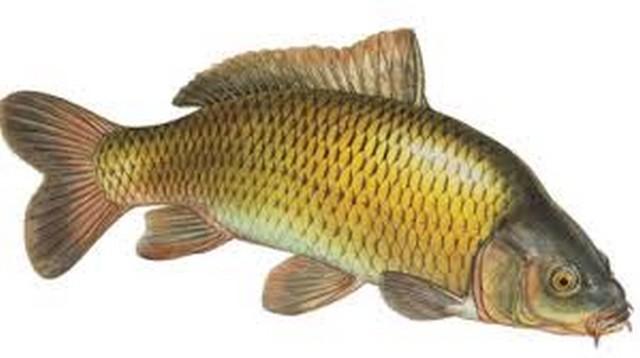 Дикая рыба