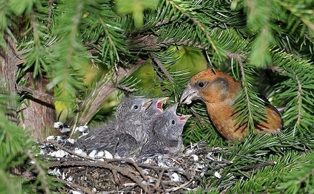 Гнездо клеста