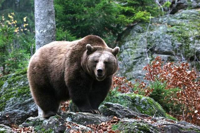 Голодная медведица