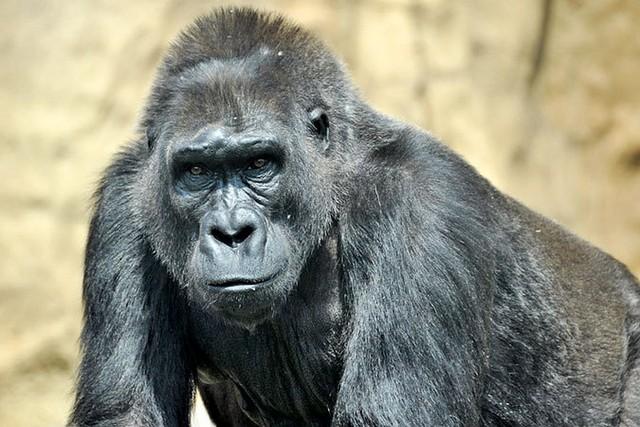 Храбрая горилла