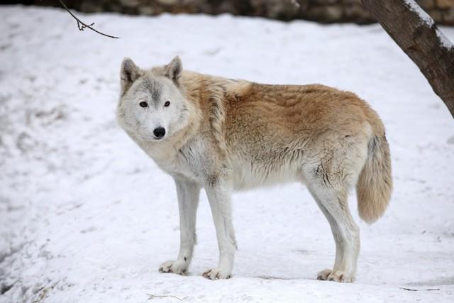 Как поймать волка