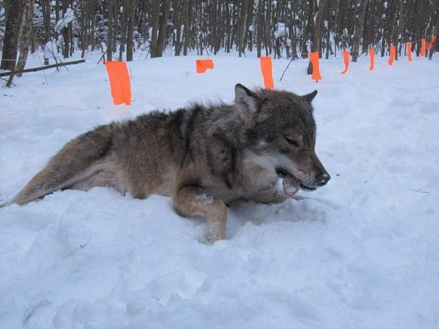 Пойманная волчица