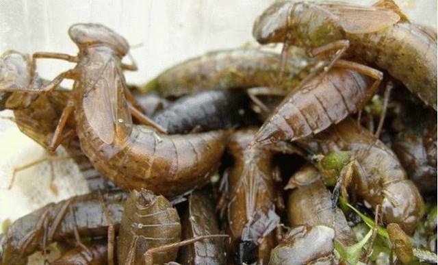 Личинки стрекоз