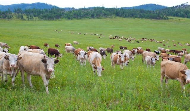 Пасущийся скот