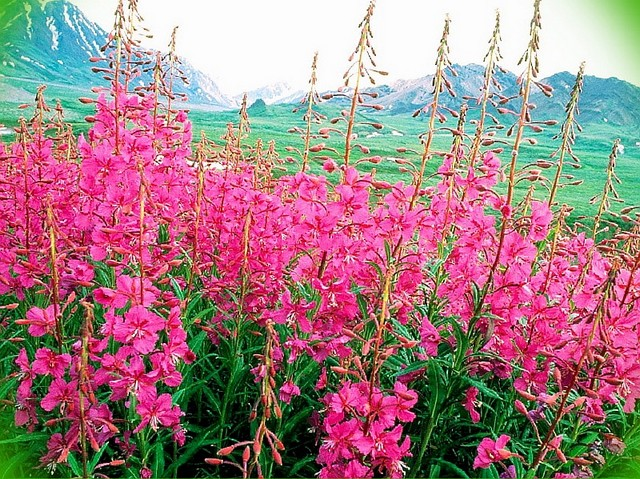 Трава кипрей