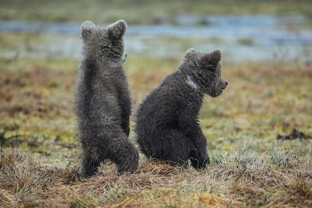 Молодые медвежата