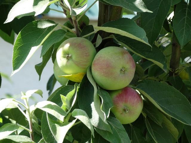 Плодовые сорта