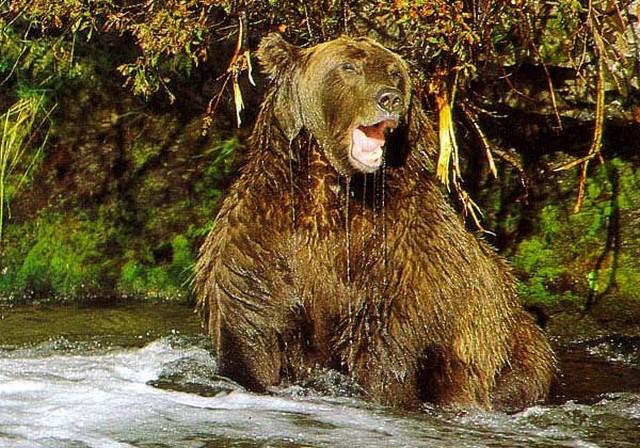 Раненый медведь