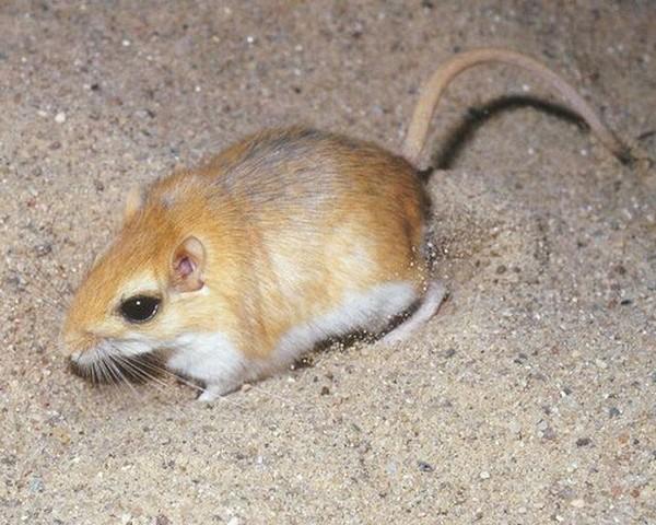 Мышиный грызун
