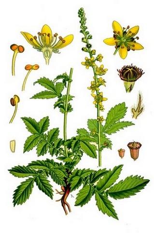 Лекарственное растение