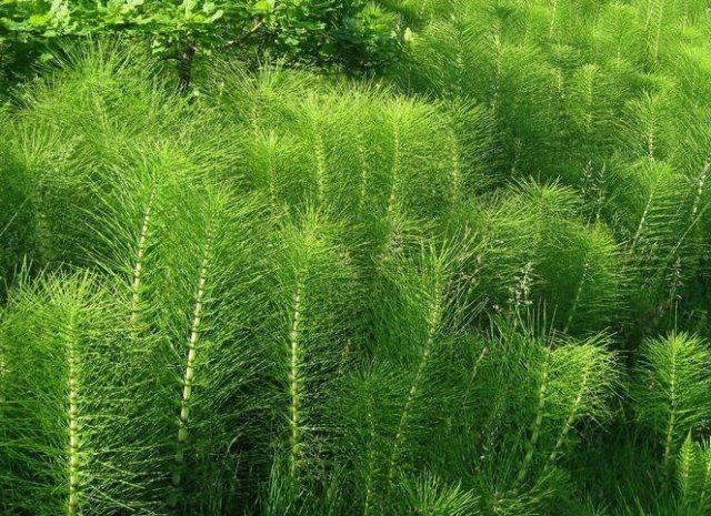 Растительный препарат