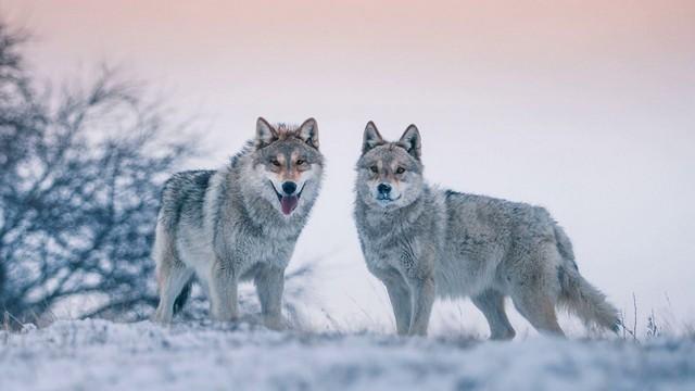 Приблизившиеся волки