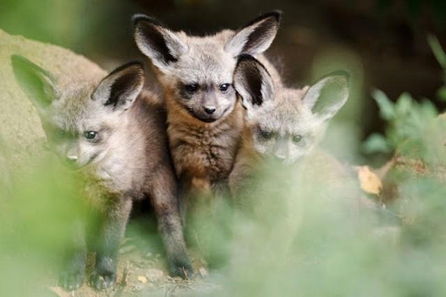 Большеухие лисицы